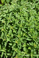 Greek Oregano (Origanum vulgare ssp. hirtum) at Family Tree Nursery