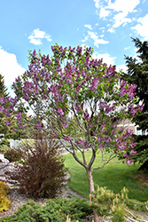 Sensation Lilac (Syringa vulgaris 'Sensation') at Family Tree Nursery