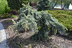 Weeping Blue Spruce (Picea pungens 'Pendula') at Family Tree Nursery
