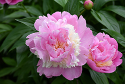 Sorbet Peony (Paeonia 'Sorbet') at Family Tree Nursery