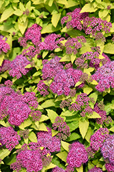 Double Play® Gold Spirea (Spiraea japonica 'Yan') at Family Tree Nursery