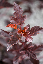 Petite Plum Ninebark (Physocarpus opulifolius 'POIPD2') at Family Tree Nursery