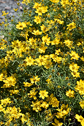 Sylvester Tickseed (Coreopsis verticillata 'Sylvester') at Family Tree Nursery