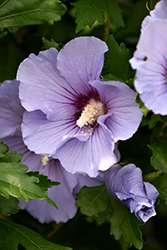Blue Satin® Rose of Sharon (Hibiscus syriacus 'Marina') at Family Tree Nursery