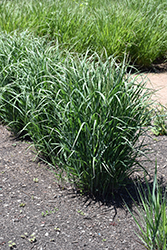 Prairie Winds® Apache Rose Switch Grass (Panicum virgatum 'Apache Rose') at Family Tree Nursery