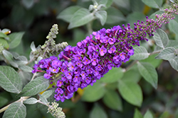 Miss Violet Butterfly Bush (Buddleia 'Miss Violet') at Family Tree Nursery
