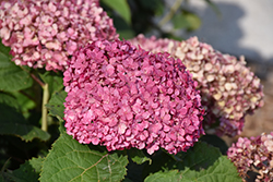 Invincibelle® Mini Mauvette Hydrangea (Hydrangea arborescens 'NCHA7') at Family Tree Nursery