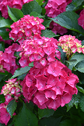 Cityline® Paris Hydrangea (Hydrangea macrophylla 'Paris Rapa') at Family Tree Nursery