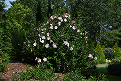 Pink Chiffon® Rose of Sharon (Hibiscus syriacus 'JWNWOOD4') at Family Tree Nursery