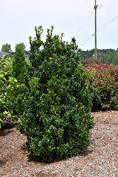 Castle Wall® Meserve Holly (Ilex x meserveae 'Heckenstar') at Family Tree Nursery