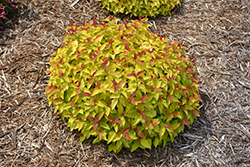 Double Play® Candy Corn® Spirea (Spiraea japonica 'NCSX1') at Family Tree Nursery
