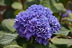 Let's Dance® Rhythmic Blue™ Hydrangea (Hydrangea macrophylla 'SMHMES14') at Family Tree Nursery