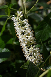Vanilla Spice® Summersweet (Clethra alnifolia 'Caleb') at Family Tree Nursery