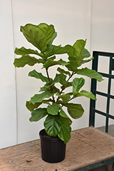 Fiddle Leaf Fig (Ficus lyrata) at Family Tree Nursery