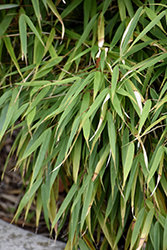 Scabrida Bamboo (Fargesia scabrida) at Family Tree Nursery