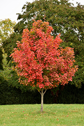 John Pair Sugar Maple (Acer saccharum 'John Pair') at Family Tree Nursery