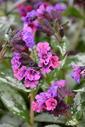 Silver Bouquet Lungwort (Pulmonaria 'Silver Bouquet') at Family Tree Nursery