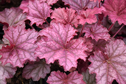 Berry Smoothie Coral Bells (Heuchera 'Berry Smoothie') at Family Tree Nursery