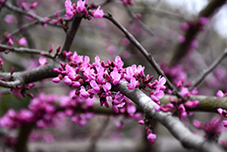 Burgundy Hearts Redbud (Cercis canadensis 'Greswan') at Family Tree Nursery