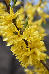 Magical® Gold Forsythia (Forsythia x intermedia 'Kolgold') at Family Tree Nursery