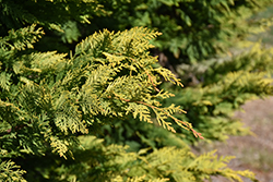 Gold Rider Leyland Cypress (Cupressocyparis x leylandii 'Gold Rider') at Family Tree Nursery