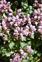 Pink Pewter Spotted Dead Nettle (Lamium maculatum 'Pink Pewter') at Family Tree Nursery