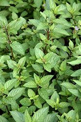 Chocolate Mint (Mentha x piperita 'Chocolate') at Family Tree Nursery