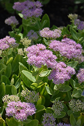Crystal Pink Stonecrop (Sedum spectabile 'Crystal Pink') at Family Tree Nursery