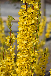 Show Off® Starlet Forsythia (Forsythia x intermedia 'Minfor6') at Family Tree Nursery