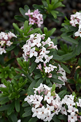 Eternal Fragrance Daphne (Daphne x transatlantica 'BLAFRA') at Family Tree Nursery