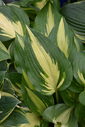 Christmas Candy Hosta (Hosta 'Christmas Candy') at Family Tree Nursery