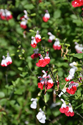Hot Lips Sage (Salvia microphylla 'Hot Lips') at Family Tree Nursery