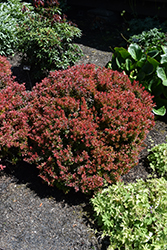Golden Ruby Barberry (Berberis thunbergii 'Goruzam') at Family Tree Nursery