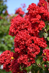 Dynamite® Crapemyrtle (Lagerstroemia indica 'Whit II') at Family Tree Nursery