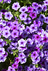 Intensia Blueberry Annual Phlox (Phlox 'Intensia Blueberry') at Family Tree Nursery